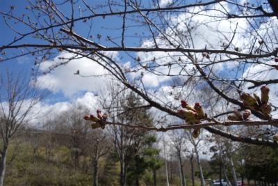 2017年4月桜