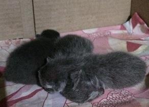 korat cat kittens