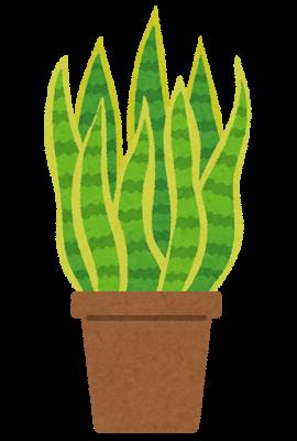 植物、サンスベリア
