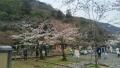 松風閣舳先の桜