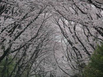 桜20170409_1