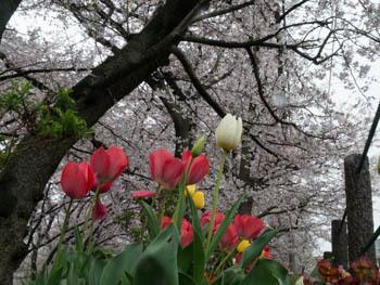 桜20170409_3