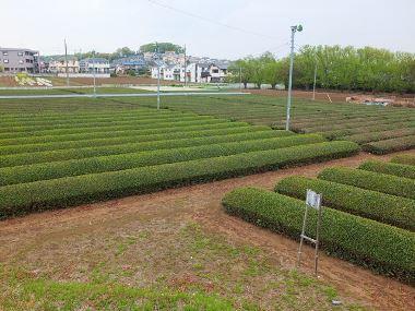 5茶畑0421