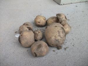 170406初収穫