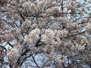 170420北側の桜2