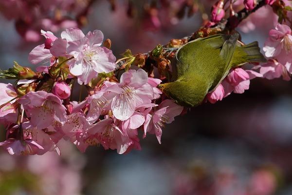 大角海浜公園河津桜&メジロ 170219 04