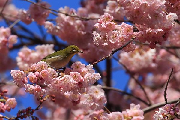 椿神社椿寒桜&メジロ 170304 01