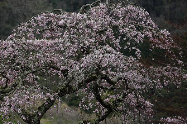 五十崎御祓枝垂桜 170405 04