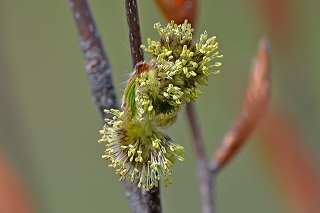DSC_0236(271)(1)ブナの花