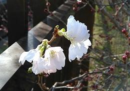 201744桜