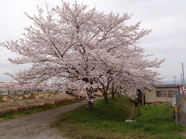 武庫川堤の桜20170410