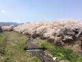 2017 桜1