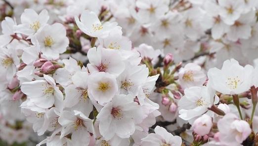 桜 17年