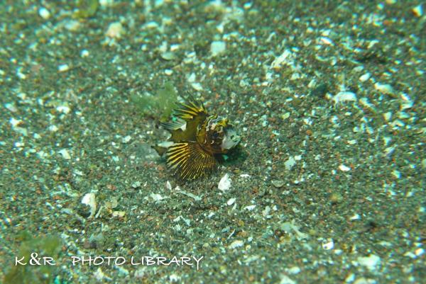 2016年5月1日大瀬崎1ヒレボシミノカサゴの幼魚