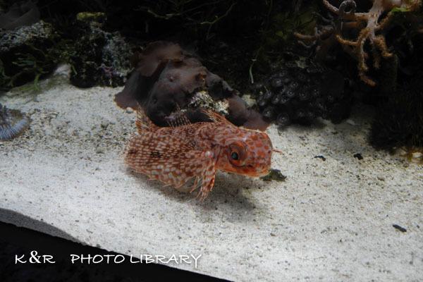 2016年6月25日沼津港深海水族館・セミホウボウ3