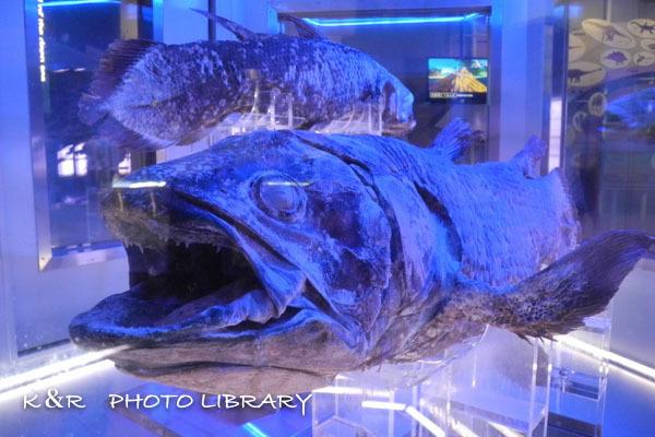 2016年6月25日沼津港深海水族館・シーラカンス9
