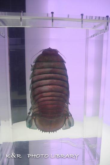 2016年6月25日沼津港深海水族館・ダイオウグソクムシ10