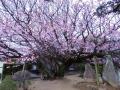 慈光寺の楊貴妃桜1