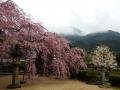 永太院のシダレザクラと青野山
