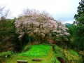 金谷城山桜2017