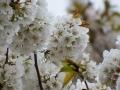 大平桜 花