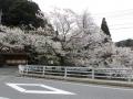 2017佐々木桜2