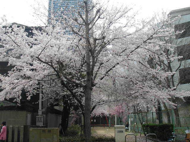 小野八幡神社横桜201704
