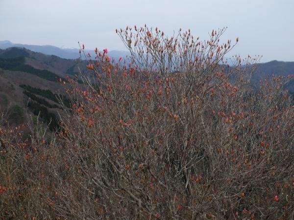 アカヤシオ417 山頂