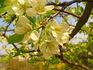 1栗と桜5