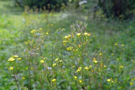 公園野花d P1080726