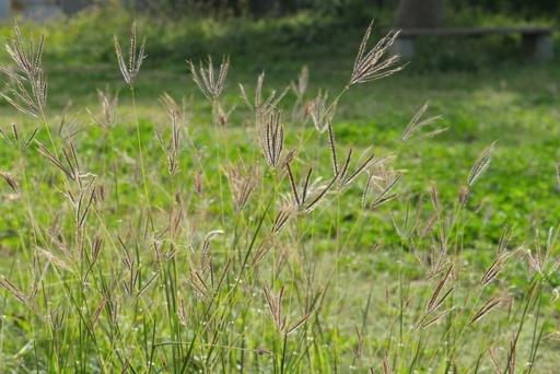 公園野花f P1080737
