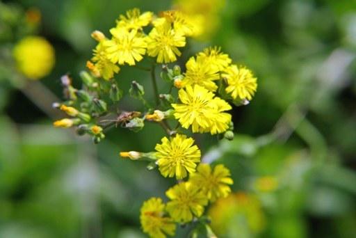 公園野花g P1080746