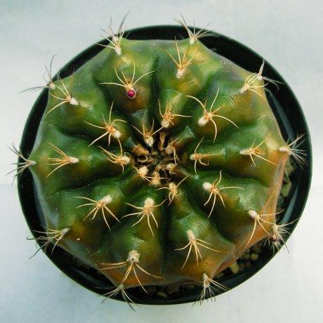 Sany0004--damsii ssp evae v centrispinum--VoS