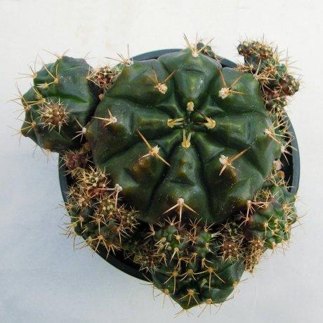 Sany0002--damsii v tucavosense--Lau 361--Aguas Sucias---Mesa seed 462.6