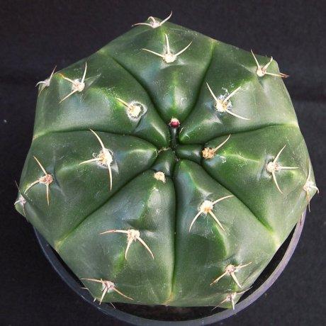 Sany0055--paraguayense--ex Moser K--Piltz seed