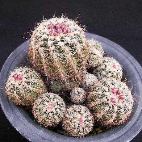 Sany0121--bruchii v aff niveum--BKS 007--Piltz seed 4957--ex Milena