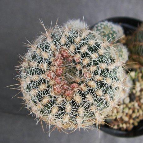Sany0116-bruchii v niveum--R 727--Koehres seed