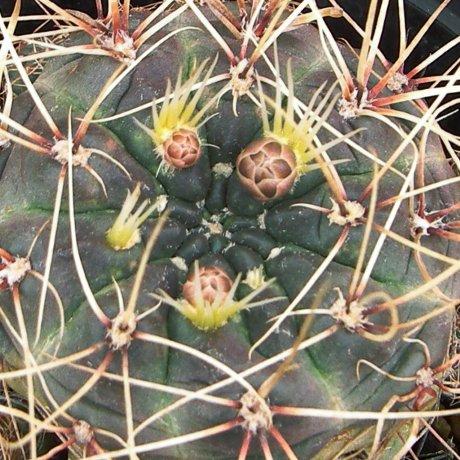 Sany0192--andreae v longispinum--ex Mrk