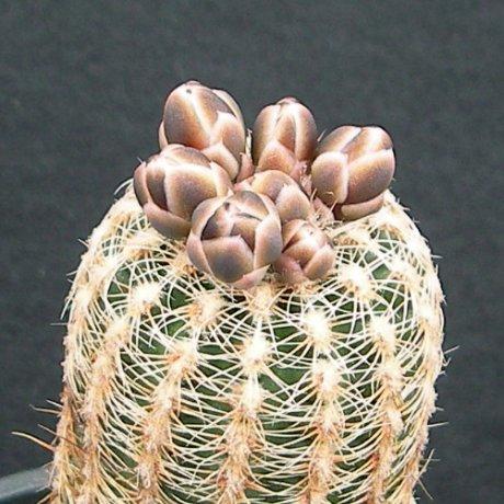 170325--Sany0207--bruchii ssp pawlovskyi-MM 830--