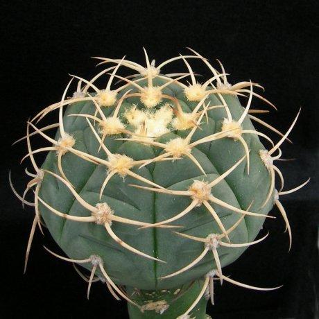 Sany0042--bayrianum--P 399--Trancas 800m--Mesa seed 457.21(2011)