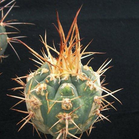 Sany0048--armatum--VoS 074--Paichu Centro--Bercht seed 2358(2014)