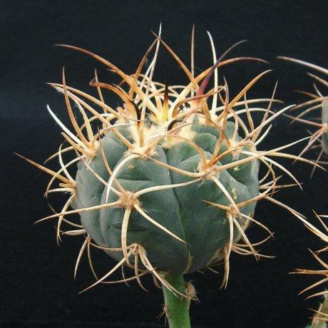 Sany0046--armatum--VS 300--Rio Toraja Puno, Parokia,Tarija, 2854m、Bol.--Bercht seed 2359(2014)