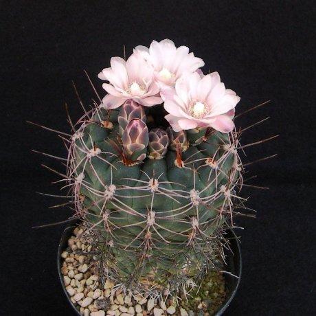 Sany0075--andreae ssp carolinense--GN 273-880--Piltz sed 3410
