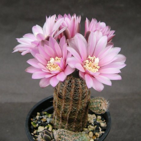 Sany0192--bruchii ssp pawlovskyi--MM 830--ex Milena