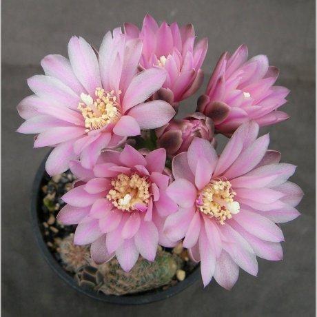 Sany0195--bruchii ssp pawlovskyi--MM 830--ex Milena