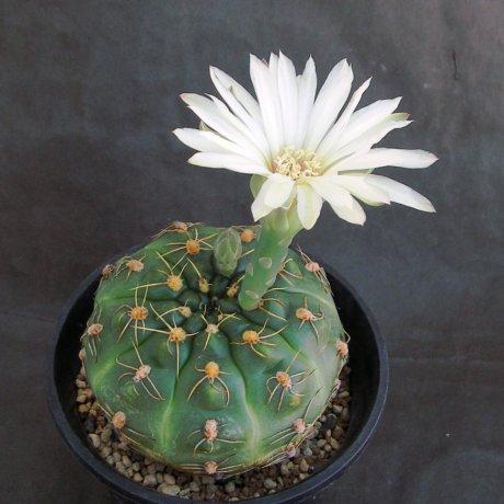 Sany0207--angelae--Tres Cerros--Piltzz seed 4975