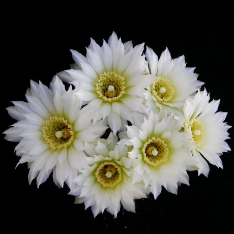 Sany0174--schatzlianum--WR 541--Piltz seed