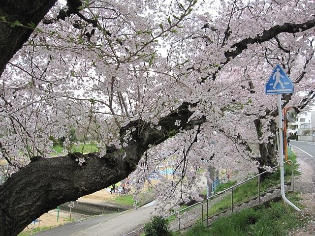 170409 桜③