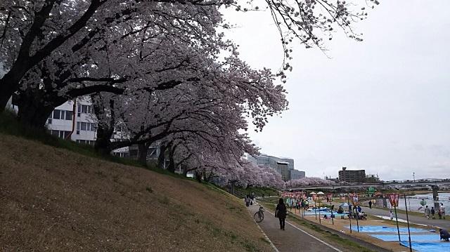 170409 桜⑤ ブログ用