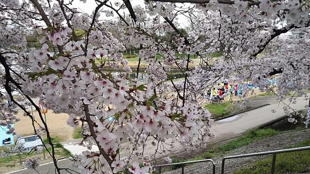 170409 桜⑥ ブログ用